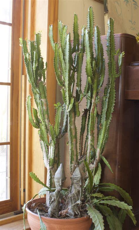 Not an actual cactus, candelabra cactus is easy to grow ...