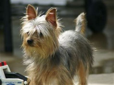 yoranian yorkie pomeranian mix info training  pictures