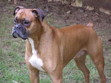 Common Boxer Breed Medical Problems