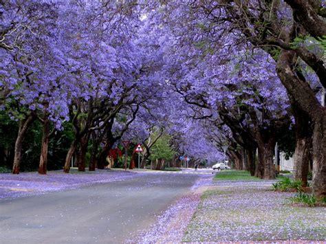 jacaranda tree jacaranda flowers colour gauteng purple gauteng tourism authority