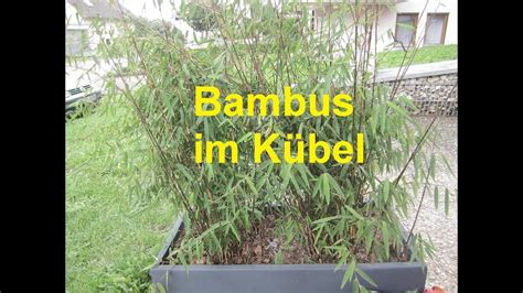 Im Kübel by Bambus Im K 252 Bel