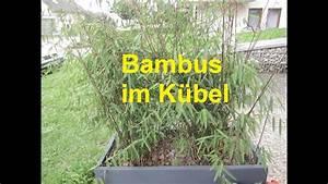 Bambus Pflanzen Kübel : bambus im k bel youtube ~ Frokenaadalensverden.com Haus und Dekorationen
