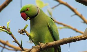 Wallpaper Indian ring parakeet, Australia, Great Britain ...