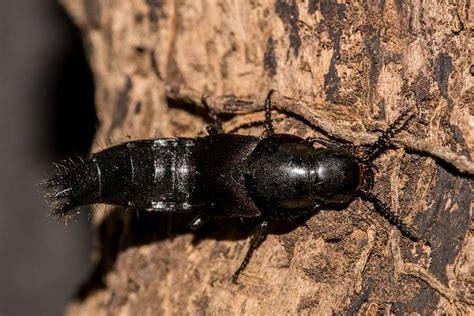 velleius dilatatus hornissenkaefer kurzfluegler