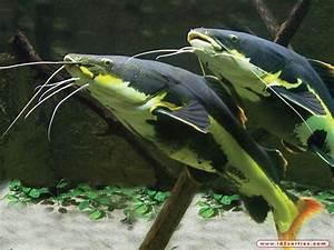Queue De Poisson Voiture : poisson chat queue rouge 4 ~ Maxctalentgroup.com Avis de Voitures