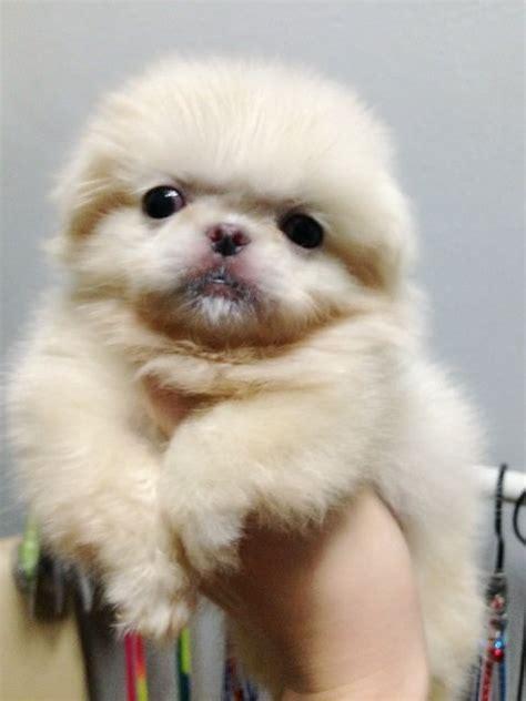 pekingese puppies sold  years  months mini white