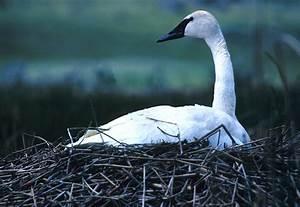 File:NPS Wildlife. Trumpeter Swan on Nest.jpg - Wikimedia ...