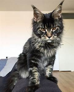 Maine coon kitten 6 months brown tabby blotched ...