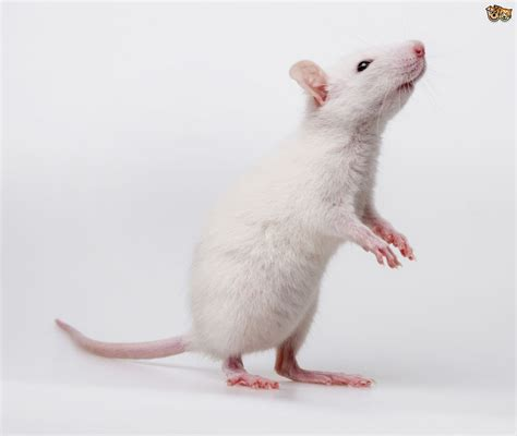 10 Reasons Why You Should Own a Pet Rat | Pets4Homes