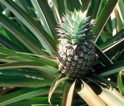 pineapple plant full sun tropical florida gardens