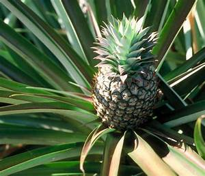 How to Grow a New Pineapple from a Store Bought Pineapple ...