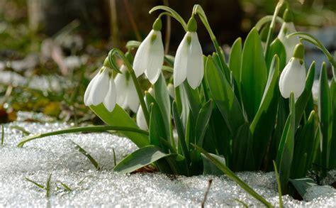 Kā pareizi kopt pavasara vēstneses - sniegpulkstenītes? - Jauns.lv