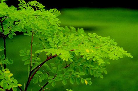 moringa cure diabetes natural benefits cancer plant cures important healthspectra every