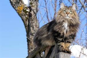 forrest cat 10 facts about forest cats mental floss