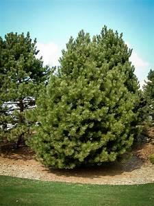 Austrian Black Pine For Sale | The Tree Center™  Black