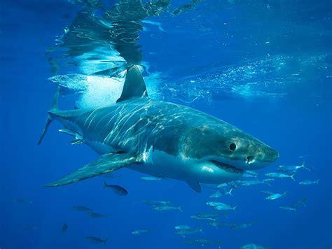white shark coastal waters fishes carcharodon