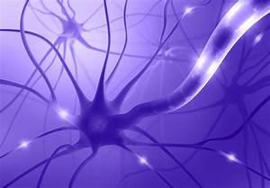 The Neuron - Internal Structure