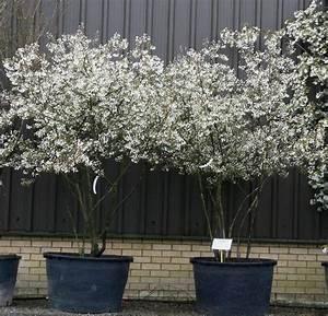 Kupfer Felsenbirne Schneiden : amelanchier plants pinterest gardens plants and ~ Lizthompson.info Haus und Dekorationen