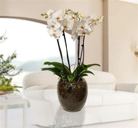 orchidea vaso mauro abati fiorista web orchidea in vaso di vetro