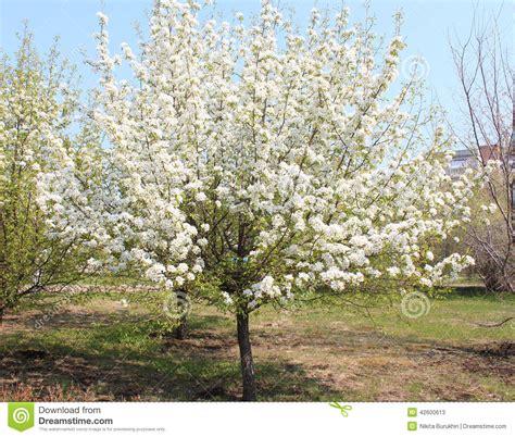 pommier de floraison en parc dans la pleine croissance photo stock image 42600613