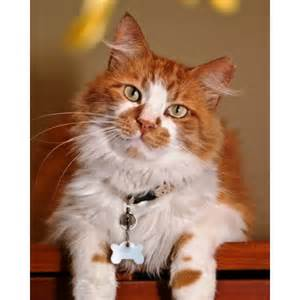 Maine Coon Cat Adoption