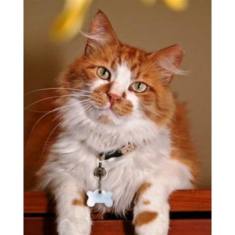 maine coon cat adoption fair in pleasant hill ca dec 8