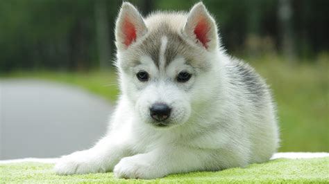 Cute Husky Puppies With Quotes Quotesgram