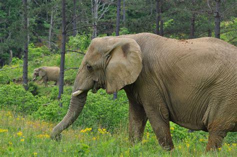 species elephants keystone earth elephant better planet adopt humans human plant eating habits ecosystem sanctuary tennessee