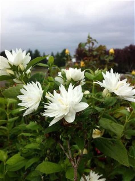 philadelphus  miniature snowflake