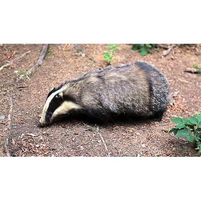 European badger closeup - YouTube