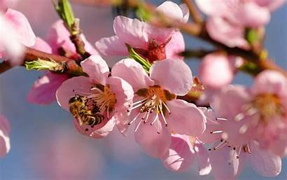 Cherry Spring Nature Season Wallpapers Blossoms Flowers