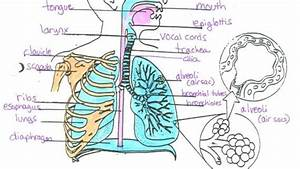 Label The Diagram Of The Respiratory System Below The Respiratory System Diagram  U2013 Anatomy Chart
