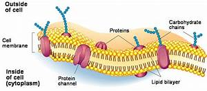What Are The Main Functions Of The Cell Membrane