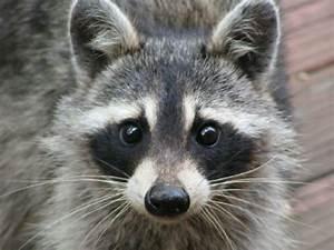 The Dancing Raccoon | rachelmankowitz