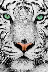 Green eyes, white tiger, not commen. | Interior decor ...