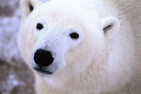 Global Warming Wrms Drowning Polar Bears