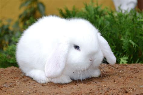 Cosa Mettere Nella Gabbia Coniglio by Cucciolo Ariete Nano Bianco Maintop White L