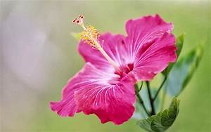 wallpapers: Pink Hibiscus Flower Wallpapers