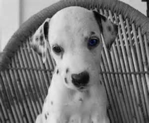 Cute Dalmatian Puppies Blue Eyes