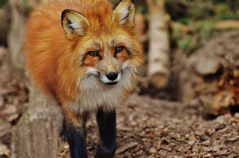 Fuchs Als Haustier Einen Fuchs Als Haustier Halten Kann Man Einen