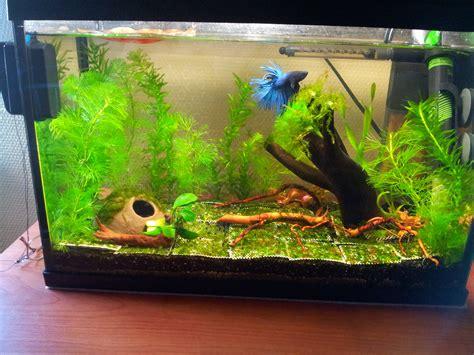 quel aquarium pour un combattant 28 images le betta ou combattant du siam vegetalis le