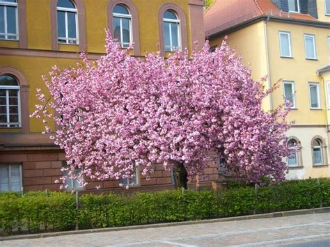 baum mit rosa blüten tolles rosa baum in voller bl 252 te gesehen in marburg marburg myheimat de