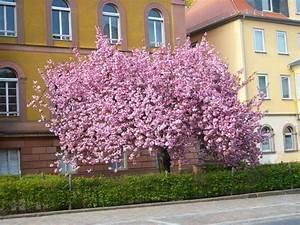 Rosa Blühender Baum Im Frühling : tolles rosa baum in voller bl te gesehen in marburg ~ Lizthompson.info Haus und Dekorationen