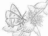 Butterfly Coloring Pages Butterflies Moth Printable Hairstreak Realistic Brown Colouring Print Hard sketch template