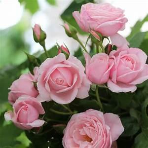 Rosier Grimpant Blanc : achat rosier grimpant nahema vente de nos cr ations et ~ Premium-room.com Idées de Décoration