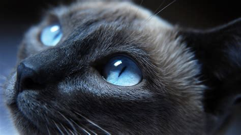 animals cat blue eyes wallpapers hd desktop  mobile