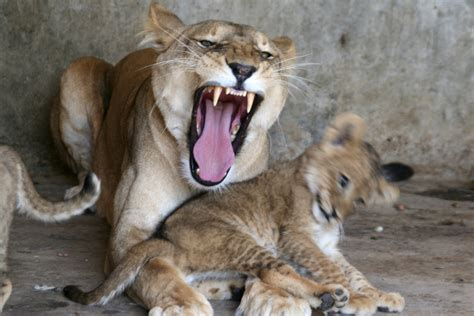 yemen zoo animals left starving  diseased  war torn taiz