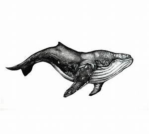 Black And White Humpback Whale Pictures to Pin on ...