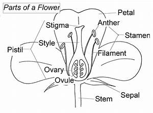 Diagram  Flower Parts Diagram Without Labels Flowers Lab Plants Biology With Smock The State 1