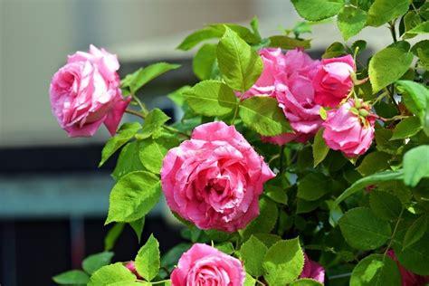 Cómo Cultivar Rosales Con La Ayuda De Una Patata